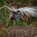 Superb lyrebird mound dance(Menura novaehollandiae)