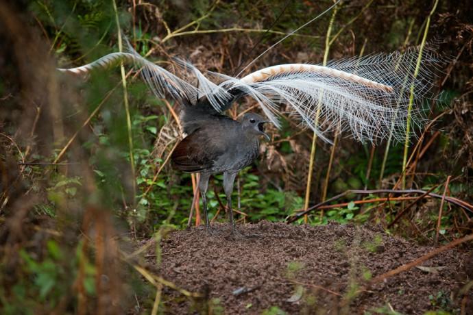 Superb lyrebird mound dance. Copyright: Fir0002/Flagstaffotos Under the CC BY-NC