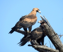 Two wedge-tailed eagles (Aquila audax) sitting on a branch