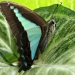 Blue triangle butterfly or common bluebottle (Graphium sarpedon)