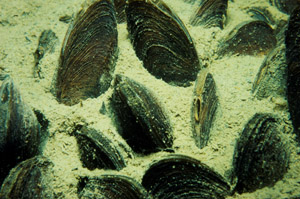 Dense mussel beds, such as this one in Lake Burragorang, filter large volumes of water and act as biological filters.