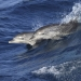 Bottlenose dolphin (Tursiops truncatus) swimming through ocean waves.