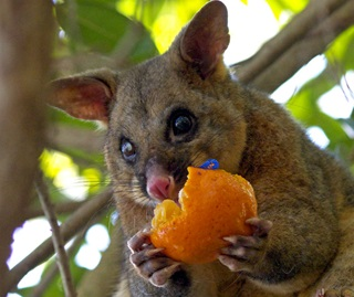 Common brush tail possum (Trichosurus vulpecula) eating stolen fruit from inside domestic house
