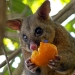 Common brushtail possum (Trichosurus vulpecula) eating stolen fruit from inside house