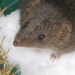 Dusky antechinus (Antechinus swainsonii) in the snow