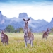 Eastern grey kangaroos (Macropus giganteus) with the Warrumbungles in the background