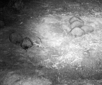 Caught on camera: Echidna (Tachyglossidae) love train crashes malleefowl mound