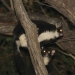 Greater gliders (Petauroides volans)