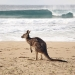 Kangaroo in front of the perfect wave on Pebbly Beach, Murramarang National Park