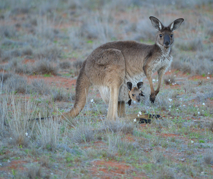 Kangaroo with joey, Gundabooka National Park