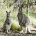 Kangaroos, Mount Kaputar National Park