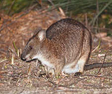 Parma Wallaby (Macropus parma)
