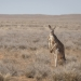 Red kangaroo (Macropus rufus) amongst the Mitchell grass Sturt National Park