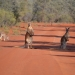 Red kangaroos (Macropus rufus) on unsealed red earth road, Gundabooka National Park