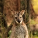 Red-necked wallaby (Macropus rufogriseus), Newnes campground, Wollemi National Park