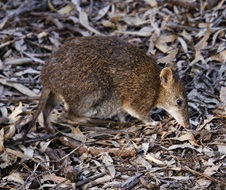 Southern Brown Bandicoot (eastern), Isoodon obesulus obesulus