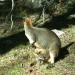 Swamp wallaby (Wallabia bicolour) image taken with WildCount motion sensor camera