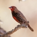 Painted finch (Emblema pictum)