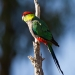 Red-capped parrot (Purpureicephalus spurious)