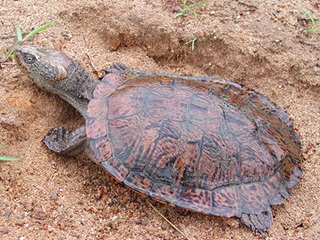 Eastern saw-shelled turtle (Myuchelys latisternum)