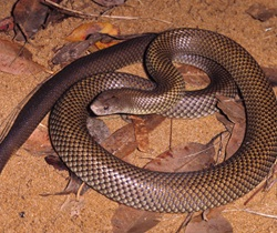 Mulga snake (Pseudechis australia) also known as the king brown snake, venomous