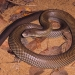 Mulga snake (Pseudechis australis) also known as the king brown snake, venomous