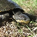 Manning River snapping turtle (Flaviemys purvisi)