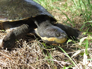 Manning River turtle (Flaviemys purvisi)