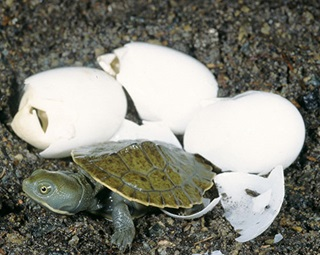 Murray River turtle (Emydura macquarii) hatchling and eggs