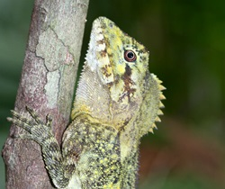 Southern Forest Dragon (Hypsilurus spinipes).