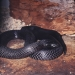 Spotted black snake or blue-bellied black snake (Pseudechis guttatus)