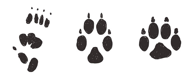 Animal tracks illustration. Left to right: quoll track, fox track and dog track
