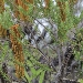 Native banksia provides safe, healthy food for lorikeets and honeyeaters