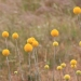 Billy buttons (Craspedia) at Silver Pines, near Urana
