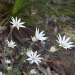 Flannel flower (Actinotus helianthi) found in open forest and dry hillsides, coastal dunes and heaths, on sandy soils