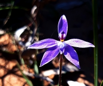 Waxlip Orchid - Glossodia major