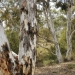Cuumbeun Nature Reserve is dominated by a dry sclerophyll forest of scribbly gum, long-leaved bundy, red stringybark, brittle gum and red box.