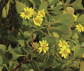 Bitou Bush (Chrysanthemoides monilifera subsp rotundifolia), also known as Boneseed. From the Asteraceae family.