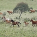 Brumbies, wild horses, in Kosciuszko National Park