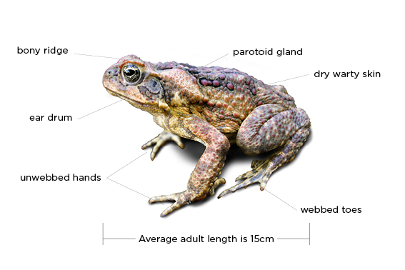 Diagram showing parts of a cane toad to help with identification