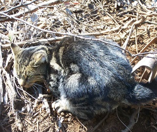 Feral animals like cats are a threat to native animals