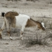Feral goat causing habitat degradation