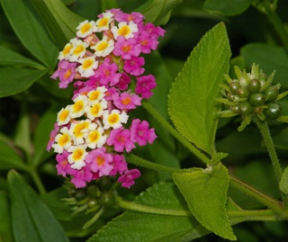 Lantana (Lantana camara), invasive introduced weed