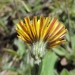 Purple stripe on lower petal of mouse-ear hawkweed (Hieracium pilosella)