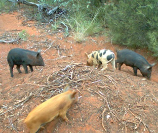 Feral pigs destroy habitat of many native species