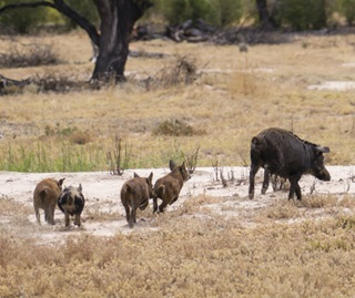 Feral pigs in the wild, Tilpa
