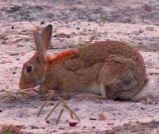 European rabbit, introduced species