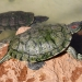 Red eared slider turtle (Trachemys scripta elegans)