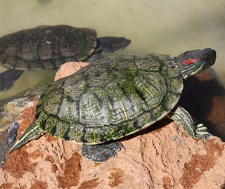 Red eared slider turtle (Aboetheta pteridonoma)