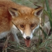 Fox, introduced species, pest and threat to native animals